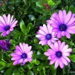 Hlnk_daisy