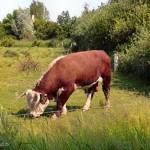 hlnk_Bull