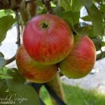 hlnk_apple