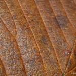 hlnk_autumnleaf3