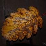 hlnk_autumnleaf6