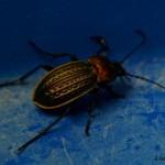 hlnk_beetle08