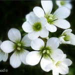 hlnk_blomst2