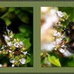 hlnk_bumblebees