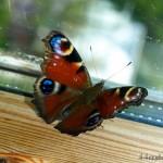 hlnk_butterfly3