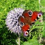 hlnk_butterfly4