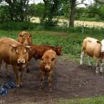 hlnk_cows1