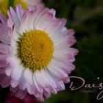 hlnk_daisy2