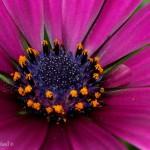 hlnk_daisyclose