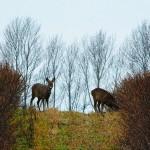 hlnk_deers2