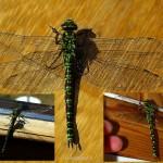 hlnk_dragonfly