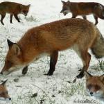 hlnk_fox
