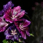 hlnk_hibiscus