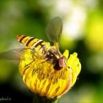 hlnk_hoverfly2