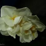 hlnk_narcissus