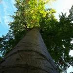 hlnk_talltree