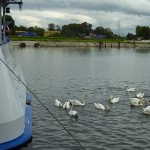 The staff are feeding the swans with left over bread in the morning.